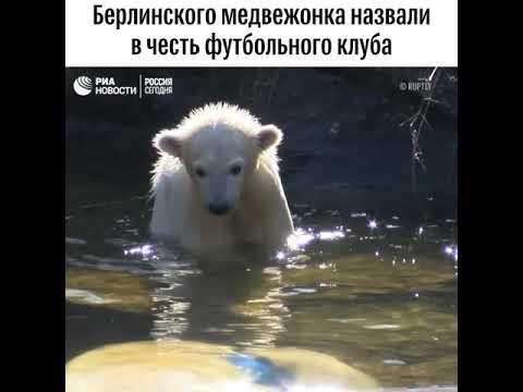 """Белого медвежонка из берлинского зоопарка назвали в честь ФК """"Герта"""" - (видео)"""